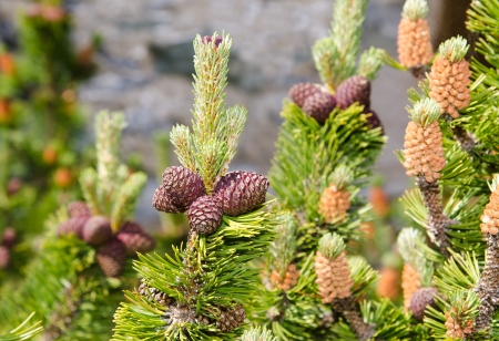 mugo: mugo pine branch  with cones
