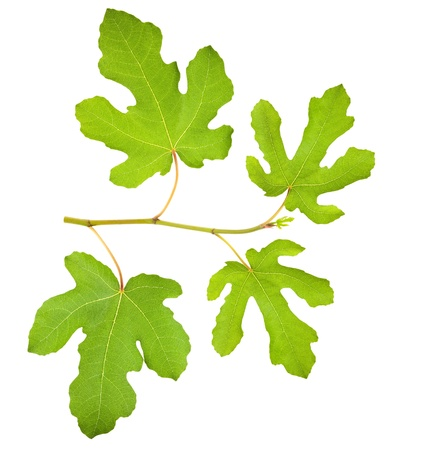fig leaf: Branch of figs  on white background  Stock Photo
