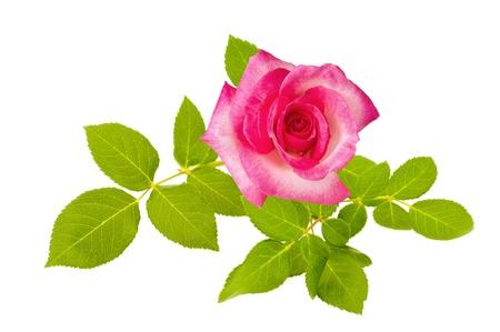 Pink Rose aislados en blanco