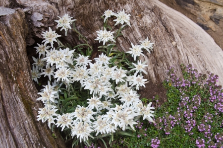 thymus: Famous flower Edelweiss (Leontopodium alpinum), symbol of alps  Stock Photo