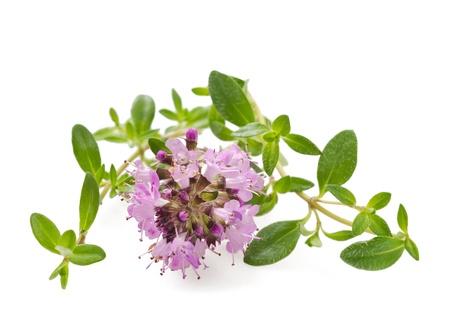 Tijm bloemen, aromatische kruid in bloei Stockfoto