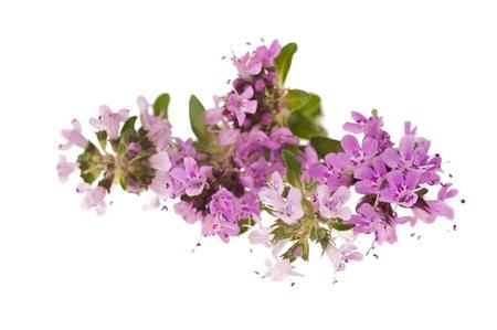 tomillo: Flores de tomillo, hierbas aromáticas en flor