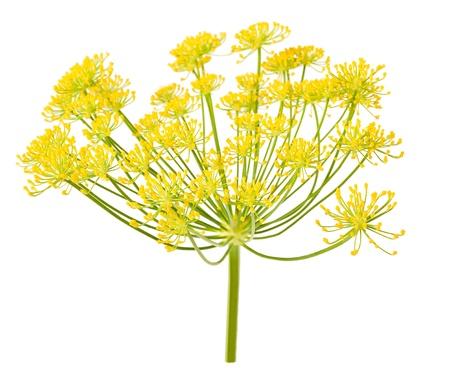 Flores de hinojo salvaje aislados en blanco