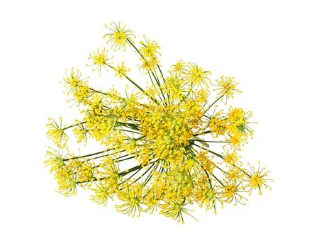 白で隔離される野生のフェンネルの花