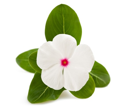 impatiens: periwinkle flower isolated on white