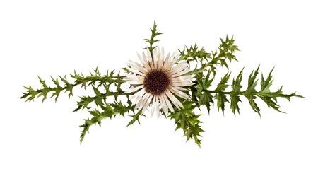 Stemless carline Thistle flower  Carlina acaulis Imagens - 23130563