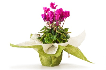 cyclamen flowers in vase isolated on white photo