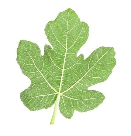 feuille de figuier: feuille de vigne isolé sur blanc