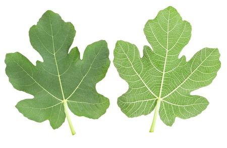 feuille de figuier: fig laisse isolé sur blanc