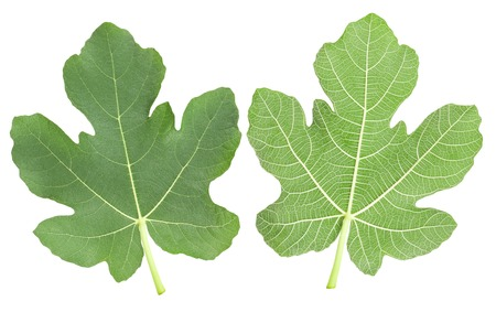 fig leaf: fig leaves isolated on white