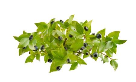 buisson: baies de myrte et la branche isolé sur blanc