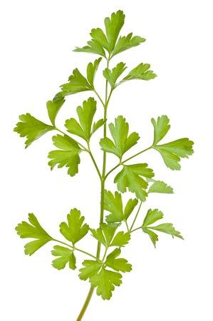 parsley sprig  isolated on white background