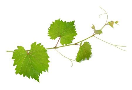 Wijnstok bladeren geïsoleerd op wit Stockfoto