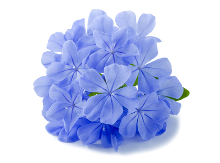 auriculata: plumbago flowers isolated on white