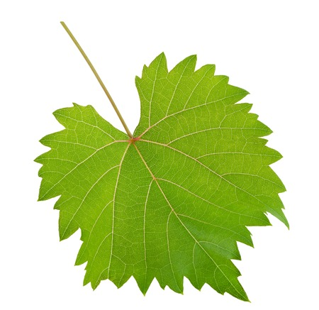 vine leaf isolated on background photo