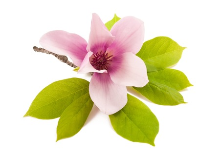 beautiful magnolia isolated on white background