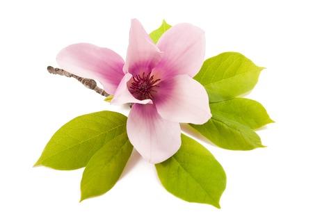 magnolia hermosas aislados sobre fondo blanco Foto de archivo