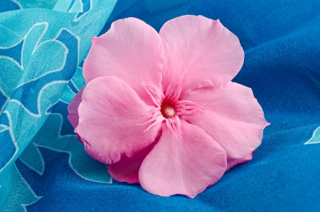 oleander flower on blue background photo