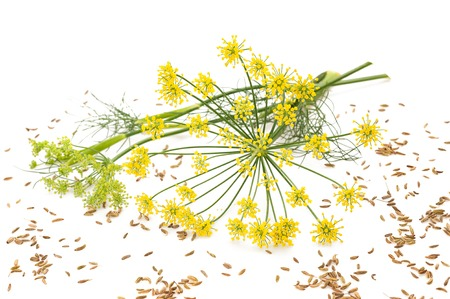 finocchio: Fiori e semi di finocchio selvatico isolato su bianco Archivio Fotografico
