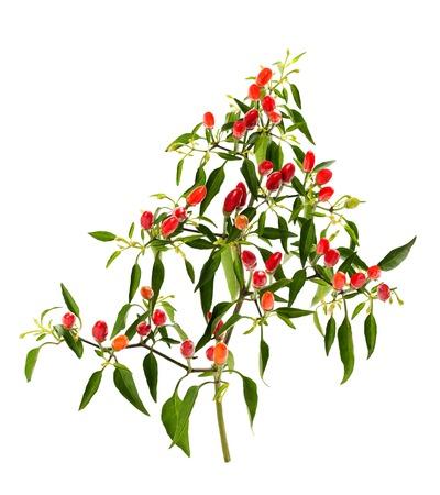 chiles picantes: planta de chile con hojas aisladas en blanco Foto de archivo