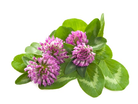 Red clover isolated on white photo
