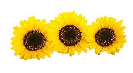 Three sunflowers isolated on white background Stock Photo - 24940334