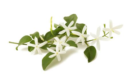 白で隔離される枝のジャスミンの花 写真素材