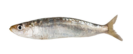 anchovy: One Sardine fish isolated on white
