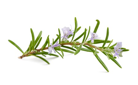 rosemary with flowers isolated on white background Stock Photo