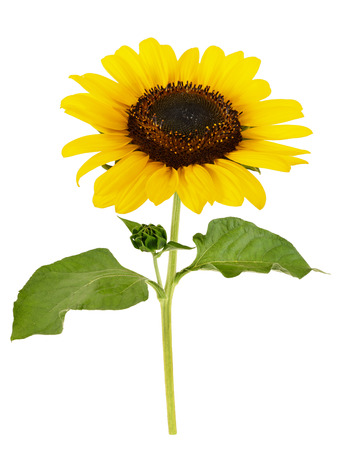 cut out  sunflower with leaves  isolated on white
