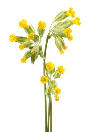 Cowslip bloemen op een witte achtergrond Primula veris