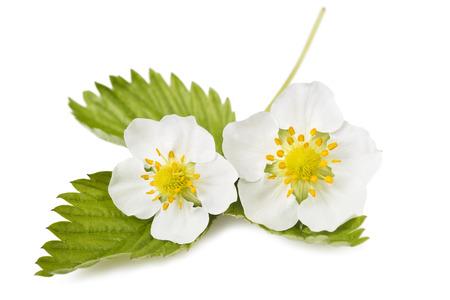 Erdbeer-Blüten und Blätter auf weißem