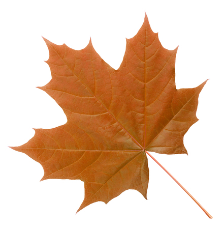 red maple leaf: Red maple leaf isolated on white background