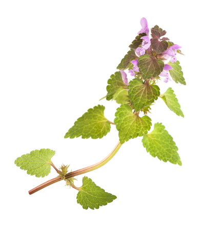 stinging nettle: Nettle with flowers isolated on white background