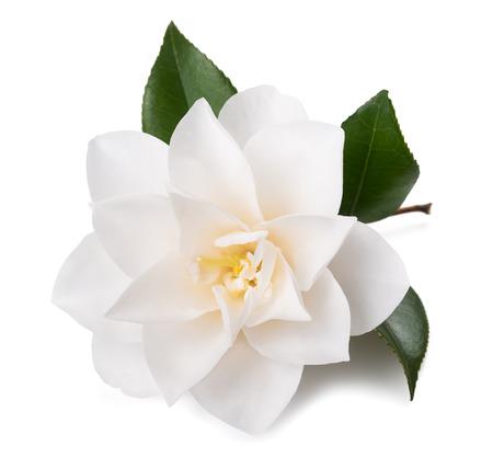camellia: fiore di camelia con foglia isolato su bianco Archivio Fotografico