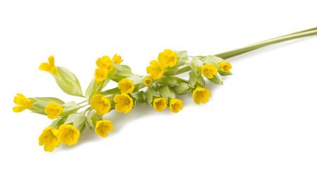 cowslip: Primrose flowers  isolated on white background  Primula veris  Stock Photo
