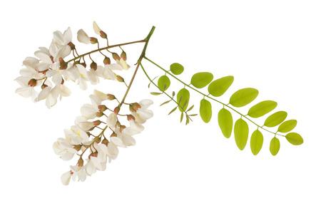 アカシアの葉と花の白で隔離 写真素材