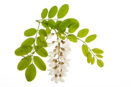 Tak van witte acacia bloemen geïsoleerd op wit Stockfoto