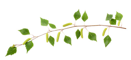 sap: Birch branch with catkins isolated on white  Stock Photo