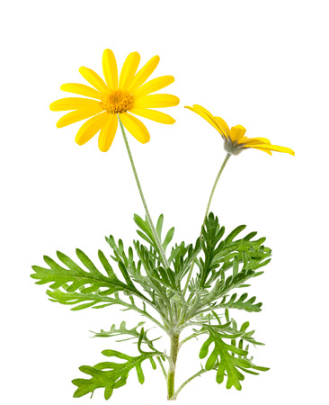Yellow daisies flowers isolated on white background