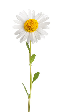 White daisy with stem isolated on white background