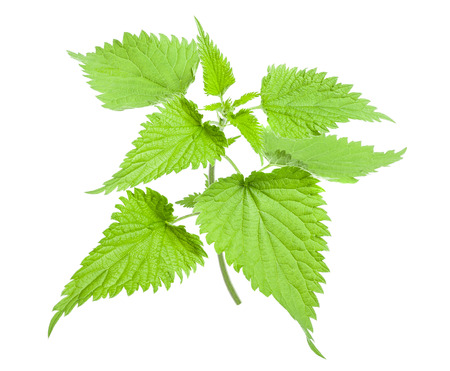 Stinging wild nettle isolated on white background photo