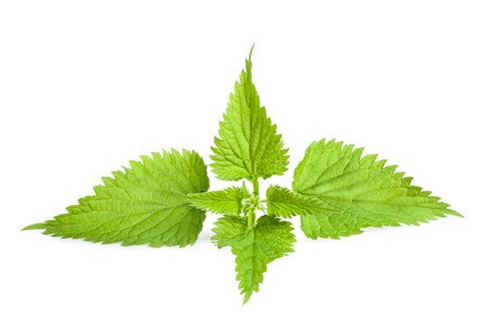 Stinging nettle isolated on white background photo