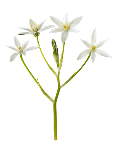White Grass Lily (Ornithogalum) Flower on White Background