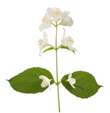 philadelphus: Orange blossom  zagara  isolated on white background Stock Photo
