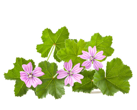Mallow with leaves and flowers isolated on white