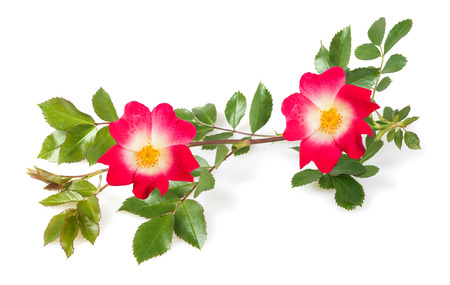 rose with branch isolated on white background Stock Photo