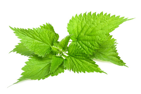 Stinging nettle isolated on white background Stock Photo