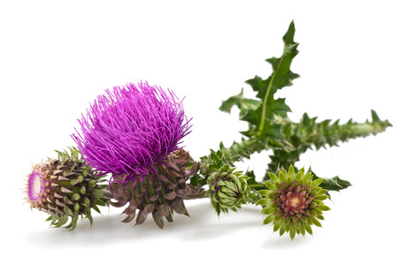thistles flower and bud isolated on white Stock Photo