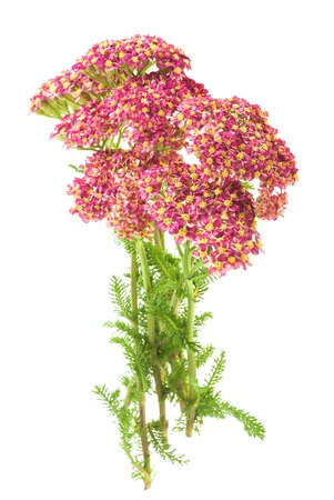 milfoil: Milfoil flowers isolated  on a white background Stock Photo